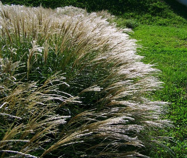 kvetoucí okrasné trávy